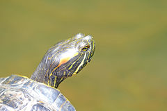 Turtle Head Royalty Free Stock Image