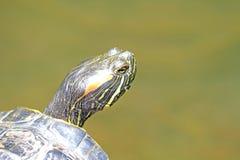 Turtle Head Royalty Free Stock Image