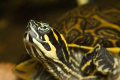 Turtle head. Turtle sticking its head and pointy nose up royalty free stock photo