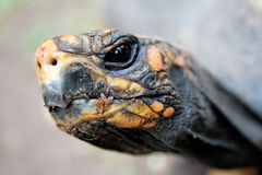 Turtle head close-up Royalty Free Stock Images