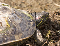 Turtle Head Close-Up Royalty Free Stock Photography