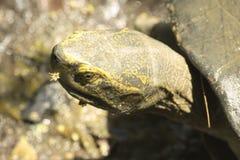 Turtle head closeup Royalty Free Stock Photo