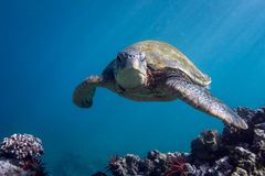 Turtle Head On. A fabulous green sea turtle faces the camera Stock Photo