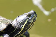 Turtle head Royalty Free Stock Photos