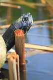 Turtle Head Stock Photo