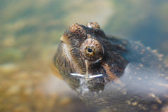 Turtle head out of water close up Stock Photo