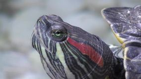 Turtle head. Turtle rests on a hot summer day stock video footage