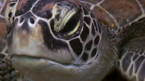 Turtle Head on seabed close up underwater of nature Philippines. stock footage