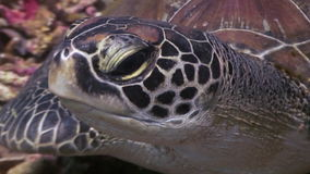Turtle Head on seabed close up underwater in ocean of wildlife Philippines. stock video footage