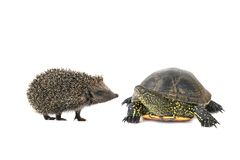 Turtle and hedgehog Royalty Free Stock Photo