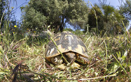 Turtle hiding. A common mediterranean land turtle seen hiding inside her shell on a forest in the spanish island of mallorca Stock Photography
