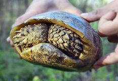 Turtle hiding. A turtle hiding in its shell while is lifted by a man Stock Images