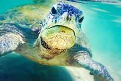 Turtle at Hikkaduwa beach royalty free stock images