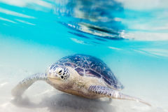 Turtle at Hikkaduwa beach Royalty Free Stock Photo