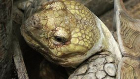 The Turtle. I think it is Caretta, very big and sweet peaceful animal stock video