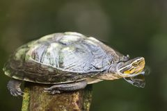 Turtle image close up in the water royalty free stock images