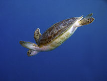 Turtle In Diving Royalty Free Stock Photos