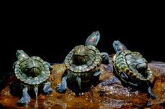 Free Turtle In The Aquarium Stock Photos - 113231723