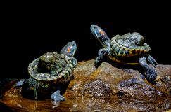 Free Turtle In The Aquarium Royalty Free Stock Image - 113231736