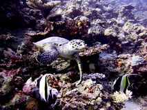 Turtle in Indian ocean at Maldives Royalty Free Stock Photo
