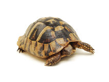 Turtle isolated royalty free stock image
