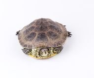 Turtle isolated Stock Images