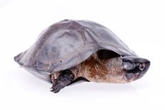 Turtle in isolated  on white Stock Photos
