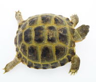 Turtle isolated on white Royalty Free Stock Images