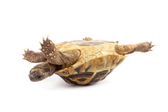Turtle isolated on white background. Turtle isolated on the white background royalty free stock photo