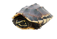 Turtle isolated Stock Photography