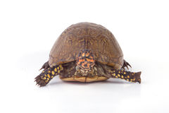 Turtle. A turtle isolated on a white background royalty free stock photos