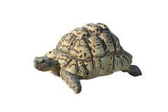 Turtle. Isolated on white background Royalty Free Stock Photo