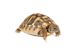Turtle isolated Royalty Free Stock Photography