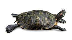 Turtle isolated on white background. Reptile species or tortoise. Clipping path. Turtle isolated on white background. Reptile species or tortoise stock photos