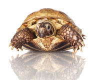 Turtle isolated on white Stock Photo