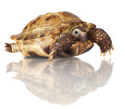 Turtle isolated on white Royalty Free Stock Image