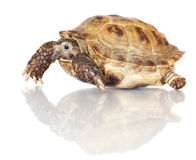 Turtle isolated on white. Small turtle isolated on white Stock Image