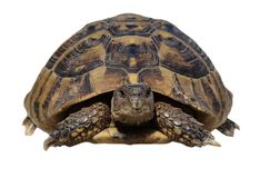 Turtle isolated on white, testudo hermanni Stock Images