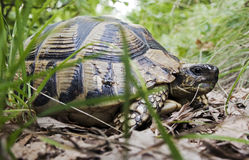 A turtle in its natural habitat Stock Photography