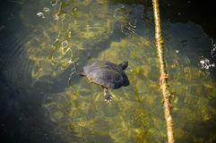 Turtle keeping swim in the lake. Catched in Italy while easter was beginning royalty free stock photos