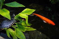 Turtle and Koi Stock Images