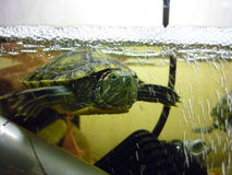 Turtle. Krasnouhov. once I lived in my house. It was very fun Royalty Free Stock Images