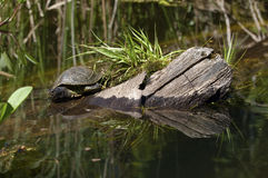 Turtle in lake Stock Photography
