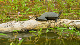 Turtle in the lake Royalty Free Stock Images