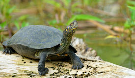 Turtle in the lake Stock Photos
