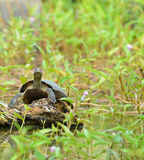 Turtle in the lake Stock Images