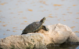 Turtle. Turtle in the lake of the Buddhist park in the Phutthamonthon district, Nakhon Pathom Province of Thailand Royalty Free Stock Photography