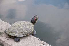 Turtle in the Lake in the City Park in Budapest Stock Image