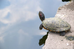 Turtle in the Lake in the City Park in Budapest Royalty Free Stock Images