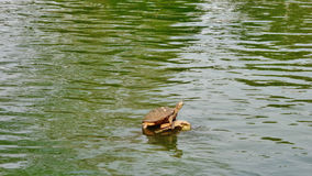Turtle in the lake Royalty Free Stock Photo